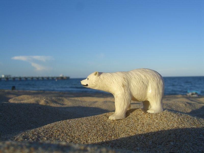 Polar Bear on LBTS beach