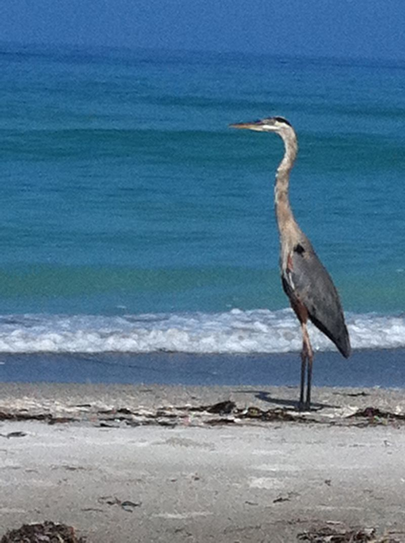 Grey Heron on shore at Longboat Key, FL