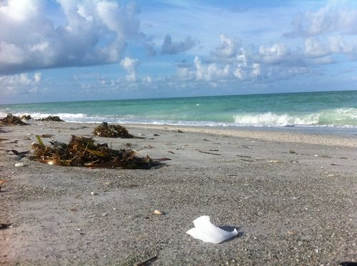 Longboat Key Shell that looks like styrofoam litter